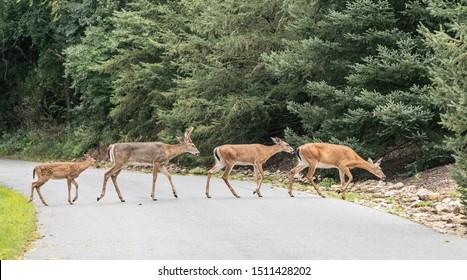 Group of white-tailed deer (Odocoileus virginianus) crossing a road.