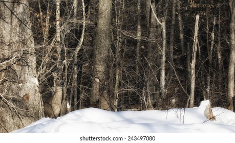 A group of white-tailed deer stand in quiet camouflage in the forest.  Winter in Wisconsin