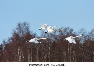 A group of whooper swan in migration. Clear blue sky in April. Heading north. Forest in the background.