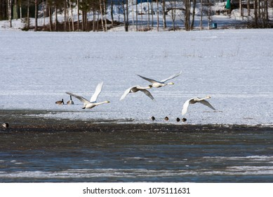 A group of whooper swan in migration. Leaving a rest place. Heading north.