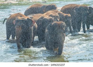Group of wild Asian elephant behind water splash and bathing in Pinnawala village of Sri Lanka. Pinnawala has the largest herd of captive elephants in the world.