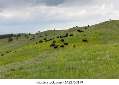 A group of wild bison grazing on a prairie hillside in spring with a dark storm in the distance.