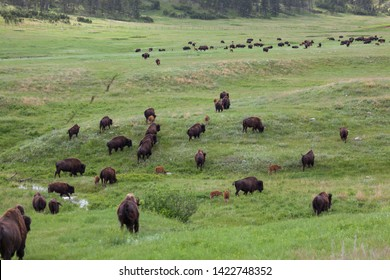 A group of wild bison walking across the rolling hills of the prairie in Custer State Park, South Dakota.