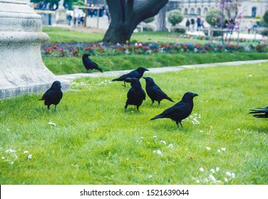 group of wild black raven on green grass in summer park closeup