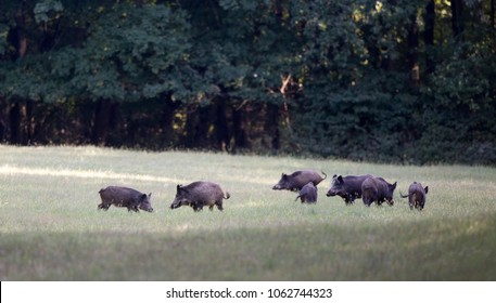 Group of wild boars standing on meadow in front of forest in summer time. Wildlife in natural habitat