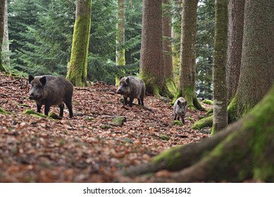 Group Of Wild Boars Sus Scrofa