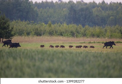 Group of wild boars (Sus Scrofa) with piglets crossing a meadow in front of a forest in the morning