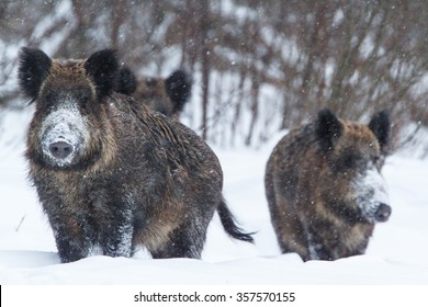 Group of wild boars (Sus scrofa) listening to noise in snowy forest, Belogorie reserve, southern Russia