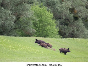 Group of wild boars (sus scrofa ferus) with piglets on meadow in forest. Wildlife in natural habitat