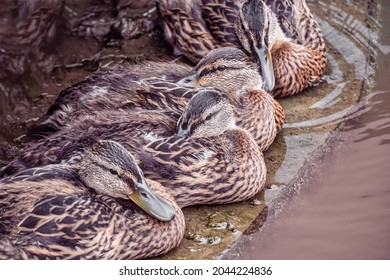 A group of wild brown ducks resting by the pond on a rainy summer day. Wildlife, waterfowl in natural conditions.