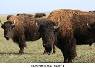 Group of wild buffalo. Ascania-Nova. Ukraine