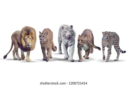 Group of Wild cats on white background