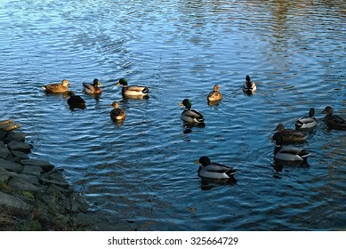 Group of wild ducks on river