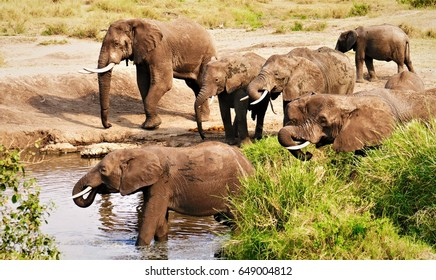 Group of wild elephants drinking water in african savannah late afternoon