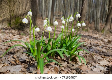 Group of wild flowering Snowdrops (Leucojum vernum) in the spring forest
