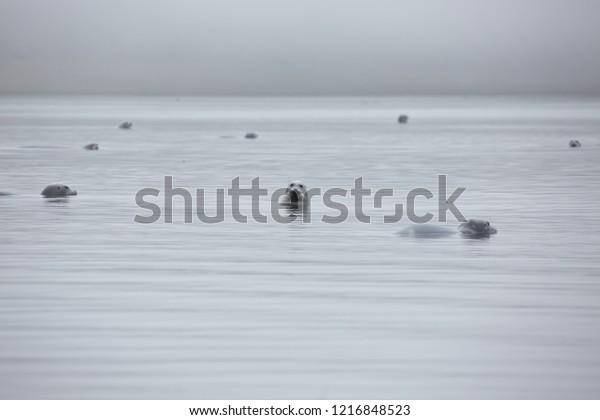 Group of wild fur seals in Okhtsk sea. Grey fog.