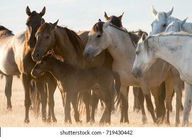 Group of wild horse mares protecting young pony