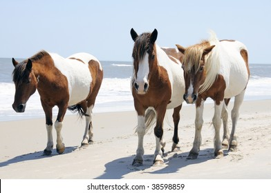 A group of Wild Horses walking together along the Beach at Assateague Island, Maryland