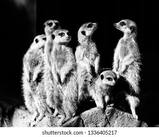 Group of wild mammal animals meerkats standing still on alert watching for threat to survive in the nature - black white conversion for high contrast.