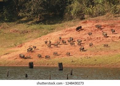 A group of wild pigs sighting near a wildlife sanctuary in Thekkady, Periyar lake, Kerala - India