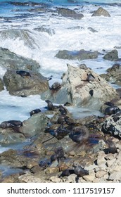 Group of wild seals can seen sun bathing in Kaikoura,New Zealand