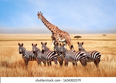 Group of wild zebras and giraffe in the African savanna against the beautiful blue sky with white clouds. Wildlife of Africa. Tanzania. Serengeti national park. African landscape.