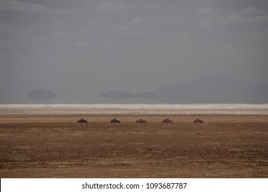 Group of wildbeasts are crossing salt pan in Tanzania