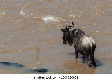 Group of wildebeest