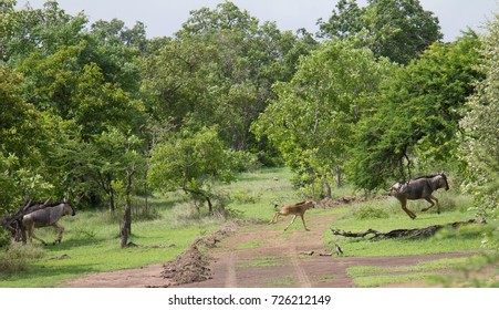 Group of wildebeests and calves seen during a safari at the Selous Game Reserve, Tanzania (Africa)