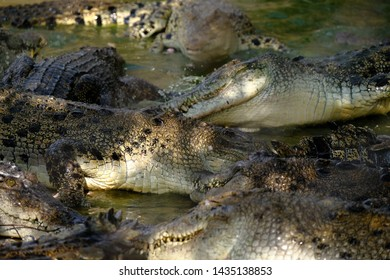 group of wildlife crocodile with close up moment, medan , indonesia