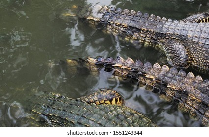 group of wildlife crocodile with close up moment in the pond feeding crocodiles on a farm