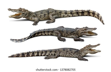 Group of wildlife crocodile isolated on white background with clipping path