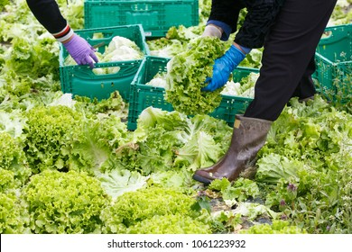 Group of workers cutting, picking and packing lettuce by hand on an agribusiness farm. Agriculture industry, fresh produce, mass production and commercial trade concept.