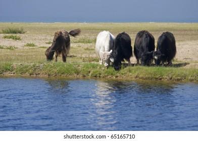 Group of Yaks on mongolian lake shore