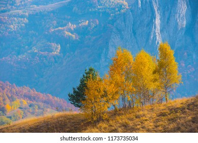 Group of yellow birch trees in the autumn. Transylvania, Romania