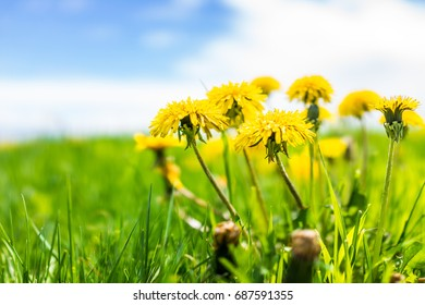 Group of yellow dandelion flowers in green grass in Quebec, Canada Charlevoix region with blue sky