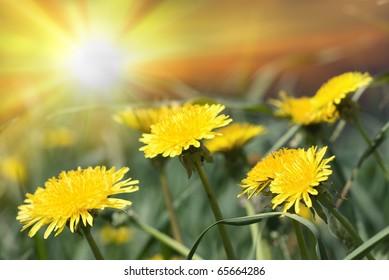 Group of yellow dandelions on sun light