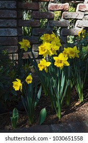 Group of yellow Dutch Master daffodils