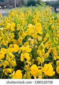 group of Yellow flower, yelow background. common names: Indian Laburnum, Purging Fistula, Amaltas, Golden shower tree.