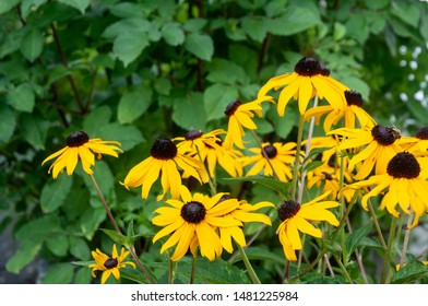 group of yellow flowers of black-eyed susans or rudbeckia hirta in summer garden