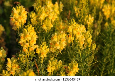 group of yellow snapdragon flowers growing in uncultivated meadow in evening sun