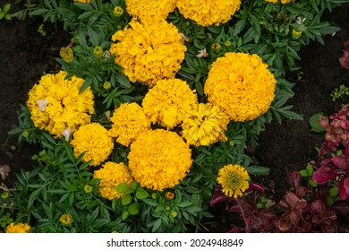 A group of yellow Tagetes erects flowers. Iresine herbstii, Herbst's bloodleaf red leaves - Shutterstock ID 2024948849