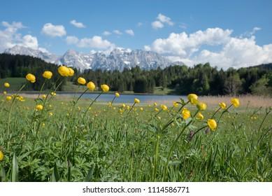 group of yellow trollius flowers on marsh land lake geroldsee, upper bavaria. selective focus.