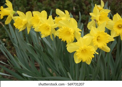 group of yellow trumpet daffodils in the garden