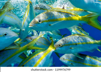Group of Yellowtail Snappers fish underwater. Selective focus