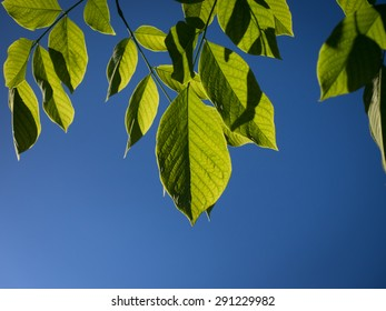 Group of yellowwood leaves isolated against a bright blue summer sky. Leaves are illuminated from behind. Detail in leaf, including veins, is showing