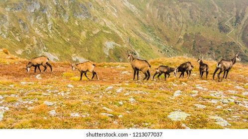A group of young and adult goats (Tatra chamois, Rupicapra rupicapra tatrica) in the autumn on a grassy slope in the Western Tatras.