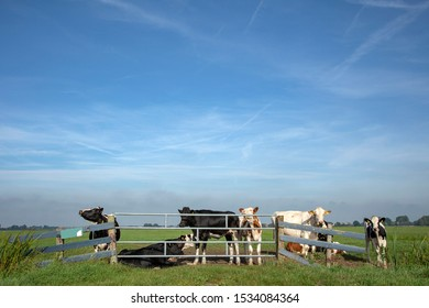 Group of young cows behind an iron gate, together standing in a green pasture, next to each other with at the background a blue sky.