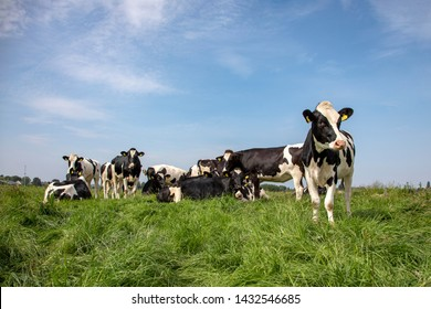 Group of young cows standing and lying in the tall grass of a green meadow, one cow maverick, the herd side by side cosy together under a blue sky.
