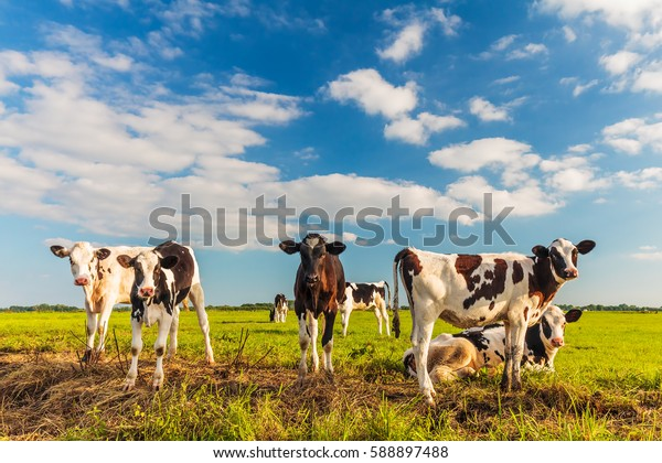 Group of young Dutch calves on a fresh green meadow on a sunny afternoon